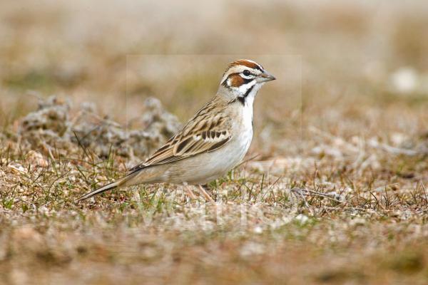 Lark Sparrow (Chondestes grammacus) adult, standing on ground, U.S.A.