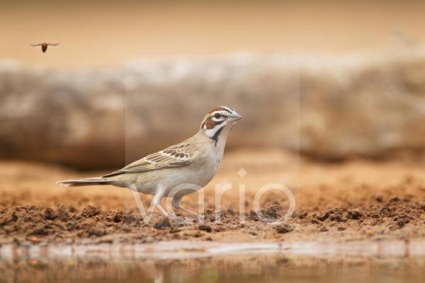 Lark Sparrow (Chondestes grammacus) adult, drinking at pool, South Texas, U.S.A., may