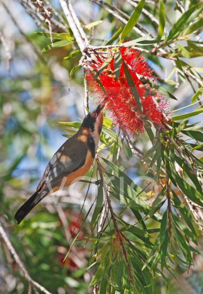 Eastern Spinebill (Acanthorhynchus tenuirostris) adult male, feeding on nectar from Crimson Bottlebrush (Callistemon citrinus) flower, Atherton Tableland, Great Dividing Range, Queensland, Australia,