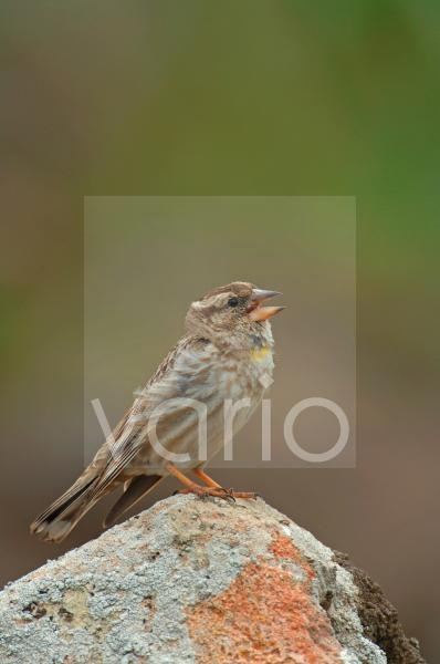 Rock Sparrow (Petronia petronia) adult male, singing, perched on rock, Lesvos, Greece, april