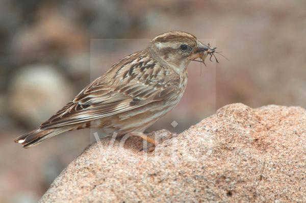 Rock Sparrow (Petronia petronia) adult male, with food in beak for young, Lesvos, Greece, april
