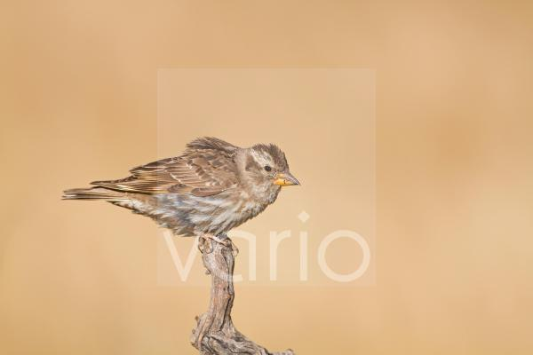 Rock Sparrow (Petronia petronia) adult, perched on vine, Spain, june