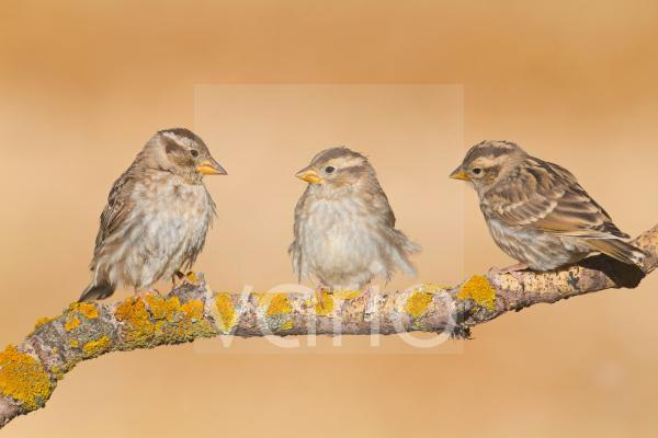 Rock Sparrow (Petronia petronia) adult and two juveniles, perched on twig, Northern Spain, july