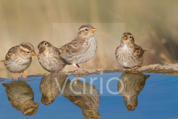Rock Sparrow (Petronia petronia) four juveniles, drinking at pool, Northern Spain, july