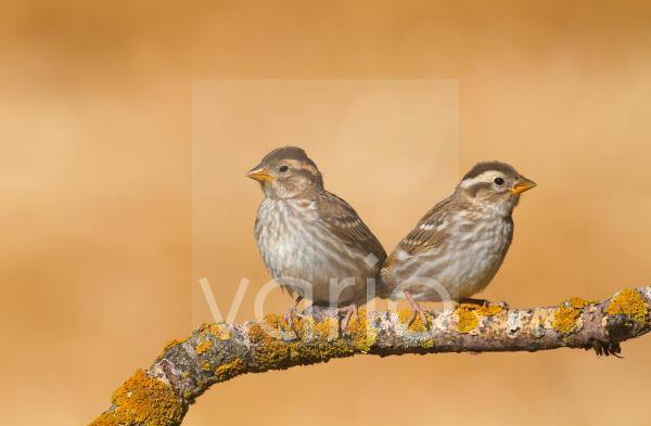 Rock Sparrow (Petronia petronia) two juveniles, perched on twig, Northern Spain, july