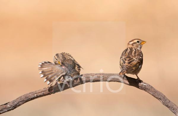 Rock Sparrow (Petronia petronia) two juveniles, perched and preening on twig, Northern Spain, july
