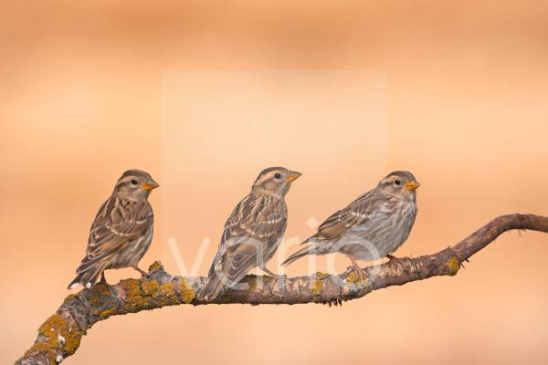 Rock Sparrow (Petronia petronia) three juveniles, perched on twig, Northern Spain, july