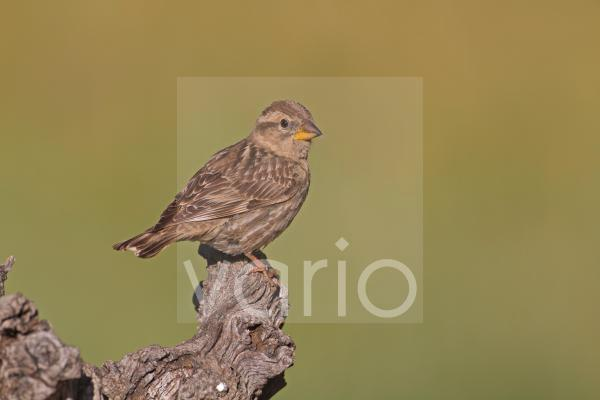 Rock Sparrow (Petronia petronia) adult, perched on branch, Castilla y Leon, Spain, may