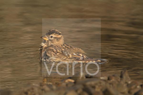 Rock Sparrow (Petronia petronia) adult, bathing, Extremadura, Spain, September