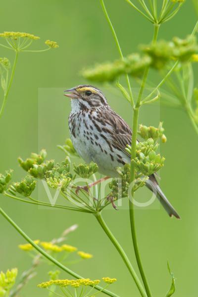 Savannah Sparrow (Passerculus sandwichensis) adult male, singing, perched in wild parsnip, U.S.A.