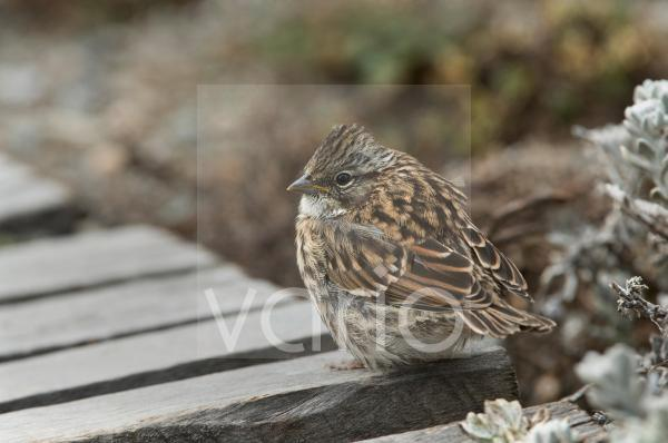 Rufous-collared Sparrow (Zonotrichia capensis) juvenile, standing on boardwalk, Otway Fjord, Southern Patagonia, Chile