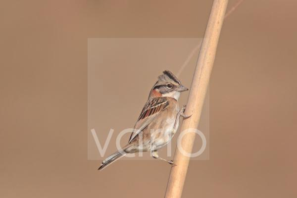 Rufous-collared Sparrow (Zonotrichia capensis) adult, perched on stem, Mar de Ajo, Buenos Aires Province, Argentina, may