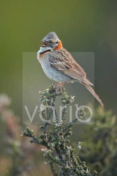 Rufous-collared Sparrow (Zonotrichia capensis) adult, singing, perched on bush, Torres del Paine N.P., Southern Patagonia, Chile, November