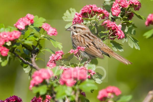 Song Sparrow (Melospiza melodia) adult, perched in flowering bush, U.S.A., spring