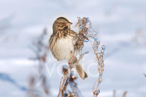 Song Sparrow (Melospiza melodia) adult, perched on ice covered stem in snow, U.S.A., winter