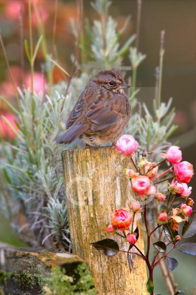 Song Sparrow (Melospiza melodia) adult, perched on post beside roses, U.S.A.