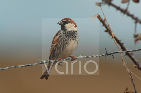 Spanish Sparrow (Passer hispaniolensis) adult male, summer plumage, perched on barbed wire fence, Extremadura, Spain, march