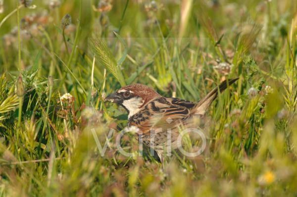 Spanish Sparrow (Passer hispaniolensis) adult male, summer plumage, feeding on seed amongst grass, Lesvos, Greece, april