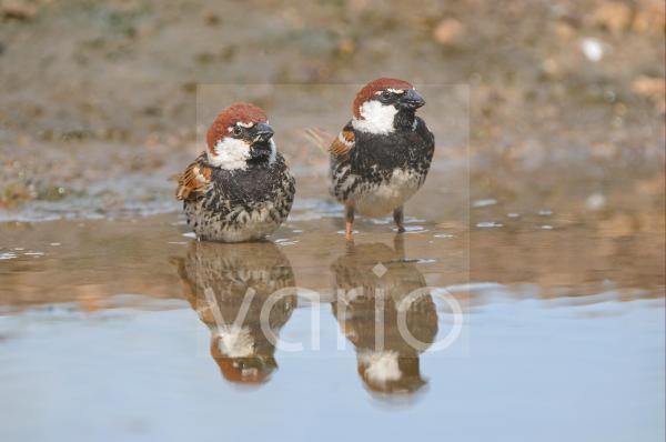 Spanish Sparrow (Passer hispaniolensis) two adults, standing in pool, Bulgaria, may