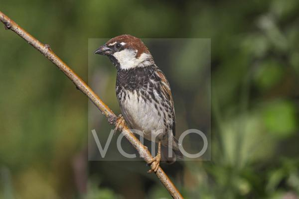 Spanish Sparrow (Passer hispaniolensis) adult, perched on twig, Bulgaria, may