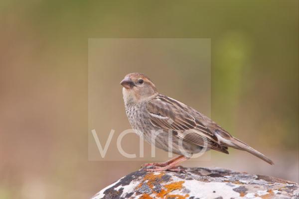 Spanish Sparrow (Passer hispaniolensis) adult female, standing on rock, Bulgaria, may