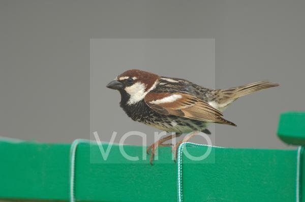 Spanish Sparrow (Passer hispaniolensis) adult male, breeding plumage, displaying, Fuerteventura, Canary Islands, march