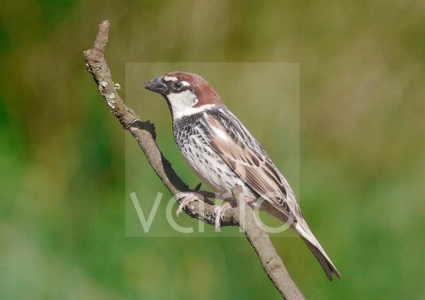 Spanish Sparrow (Passer hispaniolensis) adult male, perched on twig, Baracina, Portalegre District, Alentejo, Portugal, april