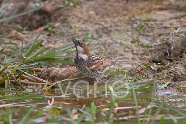 Spanish Sparrow (Passer hispaniolensis) adult male, drinking from pool, Extremadura, Spain, April