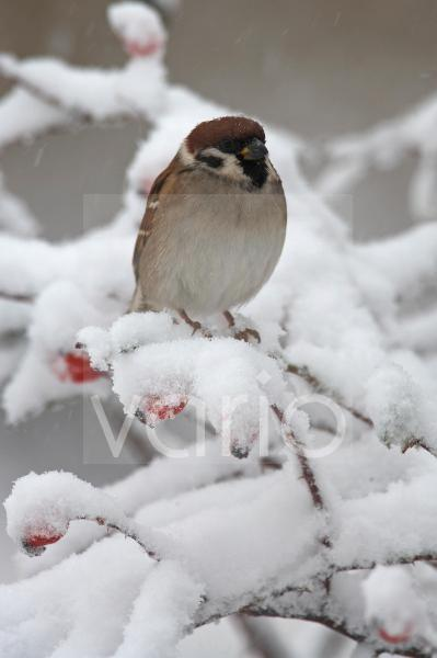 Eurasian Tree Sparrow (Passer montanus) adult, perched on snow covered rose bush, Bulgaria, winter