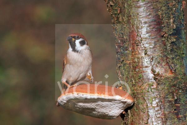 Eurasian Tree Sparrow (Passer montanus) adult, perched on Razor-strop Fungus (Piptoporus betulinus), Leicestershire, England, december