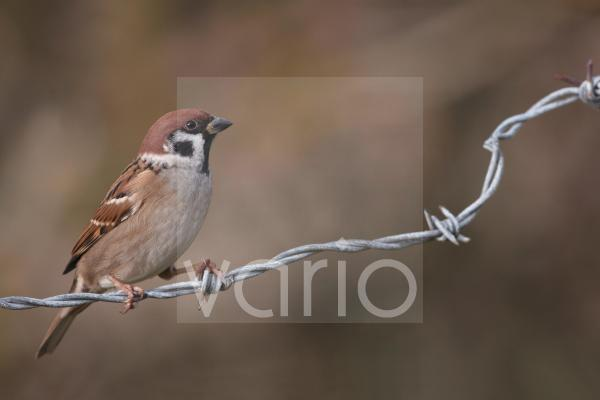 Eurasian Tree Sparrow (Passer montanus) adult, perched on barbed wire, Leicestershire, England, december