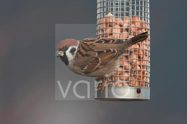 Eurasian Tree Sparrow (Passer montanus) adult, feeding on peanuts from feeder in garden, Leicestershire, England, january