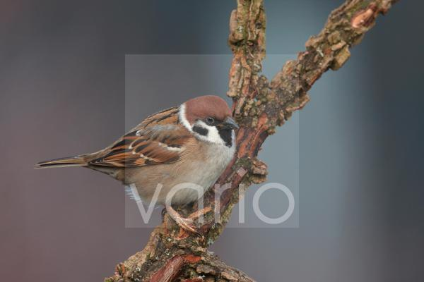 Eurasian Tree Sparrow (Passer montanus) adult, perched on branch in hedgerow, Leicestershire, England, january