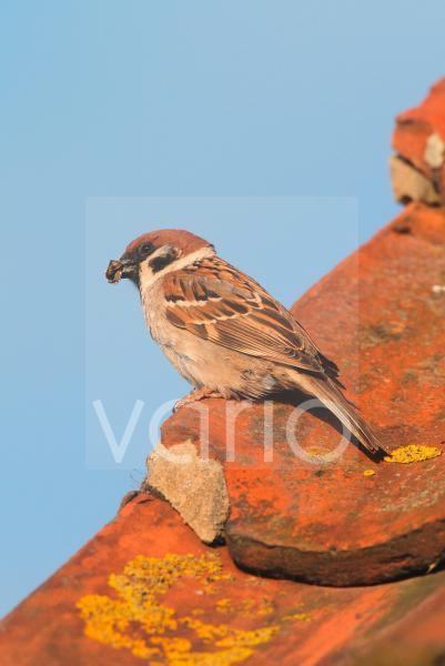 Eurasian Tree Sparrow (Passer montanus) adult, with food in beak, nesting in tiles of visitor centre, Bempton Cliffs, Yorkshire, England, june