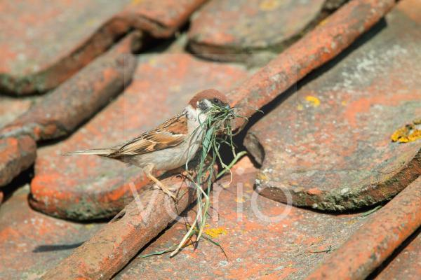 Eurasian Tree Sparrow (Passer montanus) adult, with nesting material, nest in tiles of visitor centre, Bempton Cliffs, Yorkshire, England, june