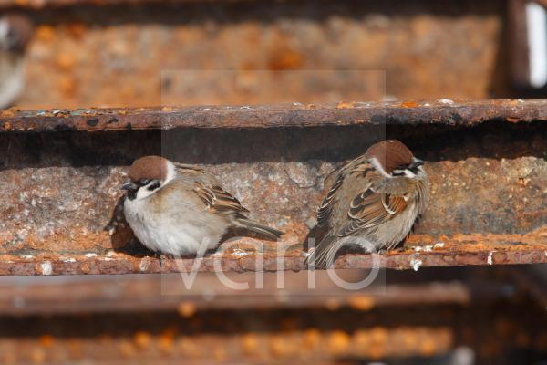 Eurasian Tree Sparrow (Passer montanus) two adults, roosting on rusty metal, Hokkaido, Japan, winter