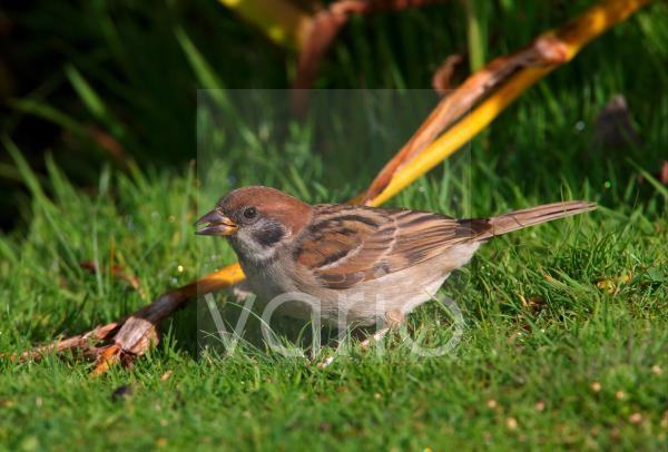 Eurasian Tree Sparrow (Passer montanus) immature, feeding on grass, Norfolk, England, september