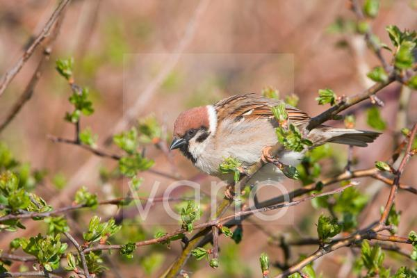Eurasian Tree Sparrow (Passer montanus) adult, perched on twig, East Yorkshire, England, april