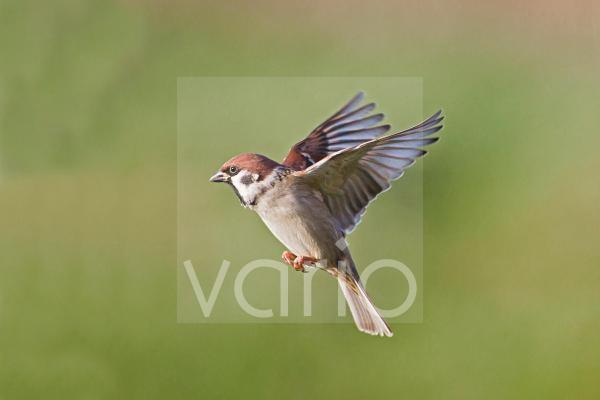 Eurasian Tree Sparrow (Passer montanus) adult, in flight, Warwickshire, England, november