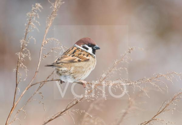 Eurasian Tree Sparrow (Passer montanus) adult, feeding on seeds, perched on plant stem in snow, Norfolk, England, winter