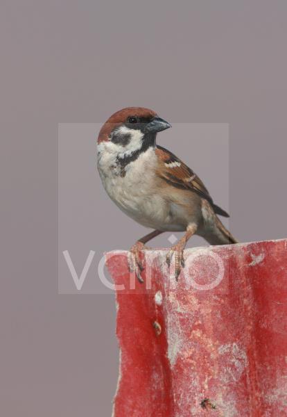 Eurasian Tree Sparrow (Passer montanus malaccensis) adult, perched on broken fence, Thailand, february