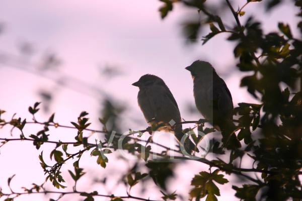 Eurasian Tree Sparrow (Passer montanus) adult pair, perched in hedgerow, silhouetted at dusk, Yorkshire, England, july
