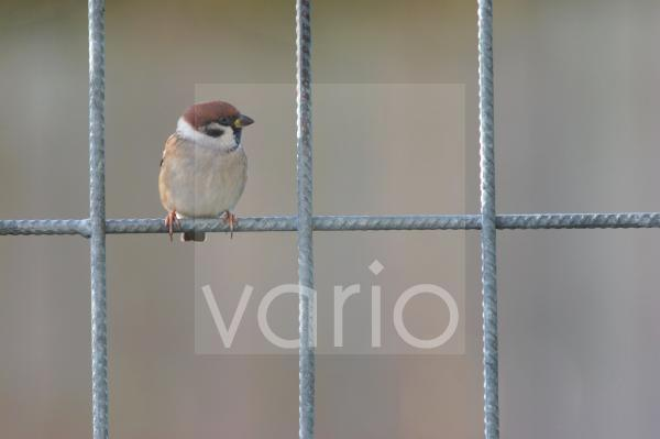 Eurasian Tree Sparrow (Passer montanus) adult, perched on fence, Yorkshire, England, november