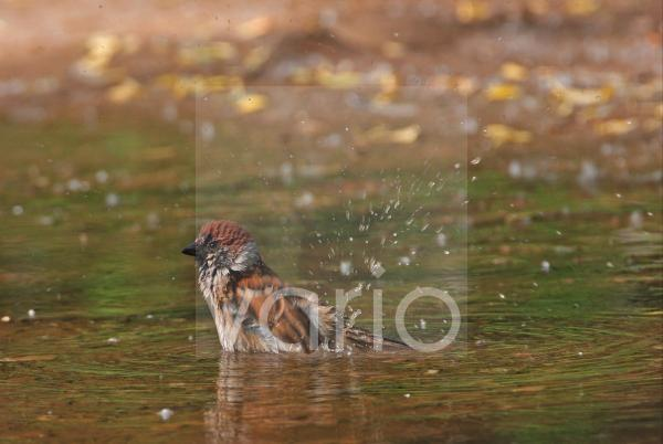 Eurasian Tree Sparrow (Passer montanus) adult, bathing in puddle, Beijing, China, may