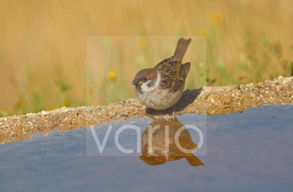 Eurasian Tree Sparrow (Passer montanus) juvenile, drinking at pool with reflection, Spain, june