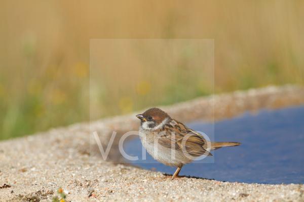 Eurasian Tree Sparrow (Passer montanus) juvenile, standing at edge of pool, Spain, june