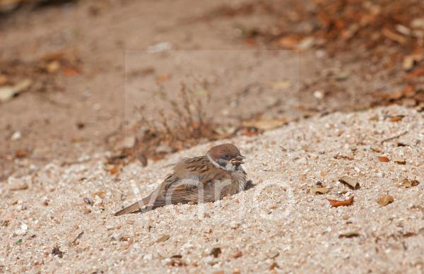 Eurasian Tree Sparrow (Passer montanus) juvenile, sunning and dust bathing in sand, Northern Spain, july