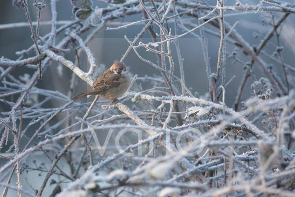 Eurasian Tree Sparrow (Passer montanus) adult, perched on frosty twigs, Fairburn Ings RSPB Reserve, West Yorkshire, England, january