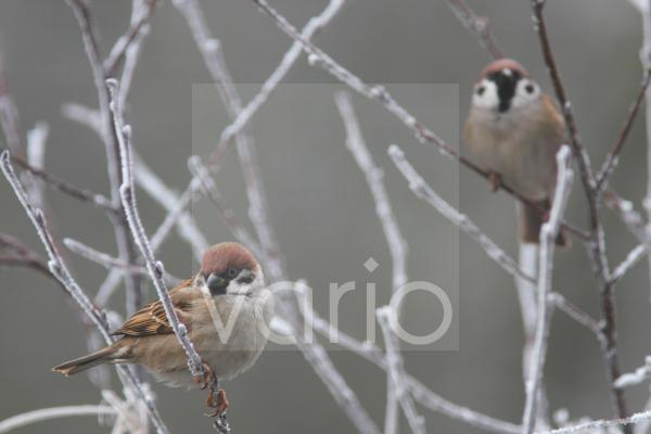 Eurasian Tree Sparrow (Passer montanus) two adults, perched on frosty twigs, Fairburn Ings RSPB Reserve, West Yorkshire, England, january