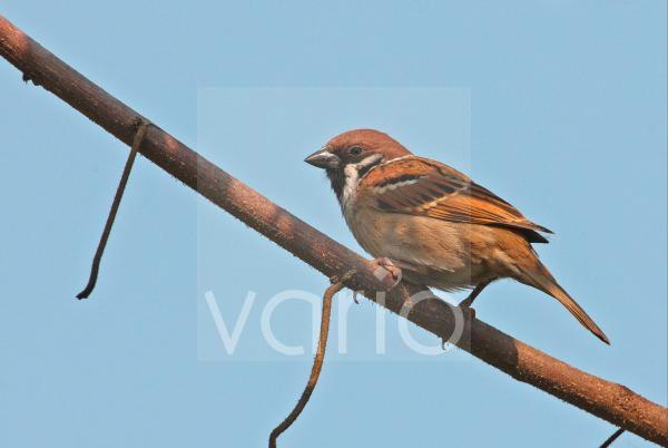 Eurasian Tree Sparrow (Passer montanus obscuratus) adult, perched on branch, Dibru-Saikhowa N.P., Assam, India, february